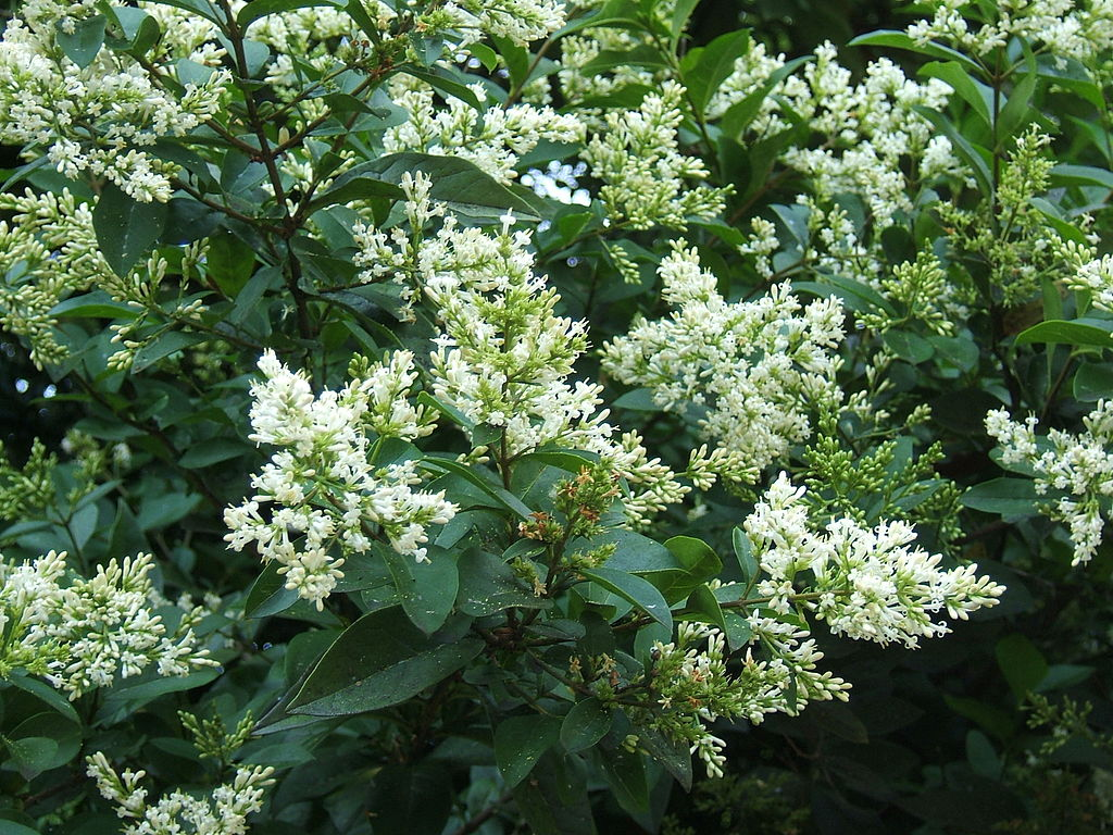 privet in bloom