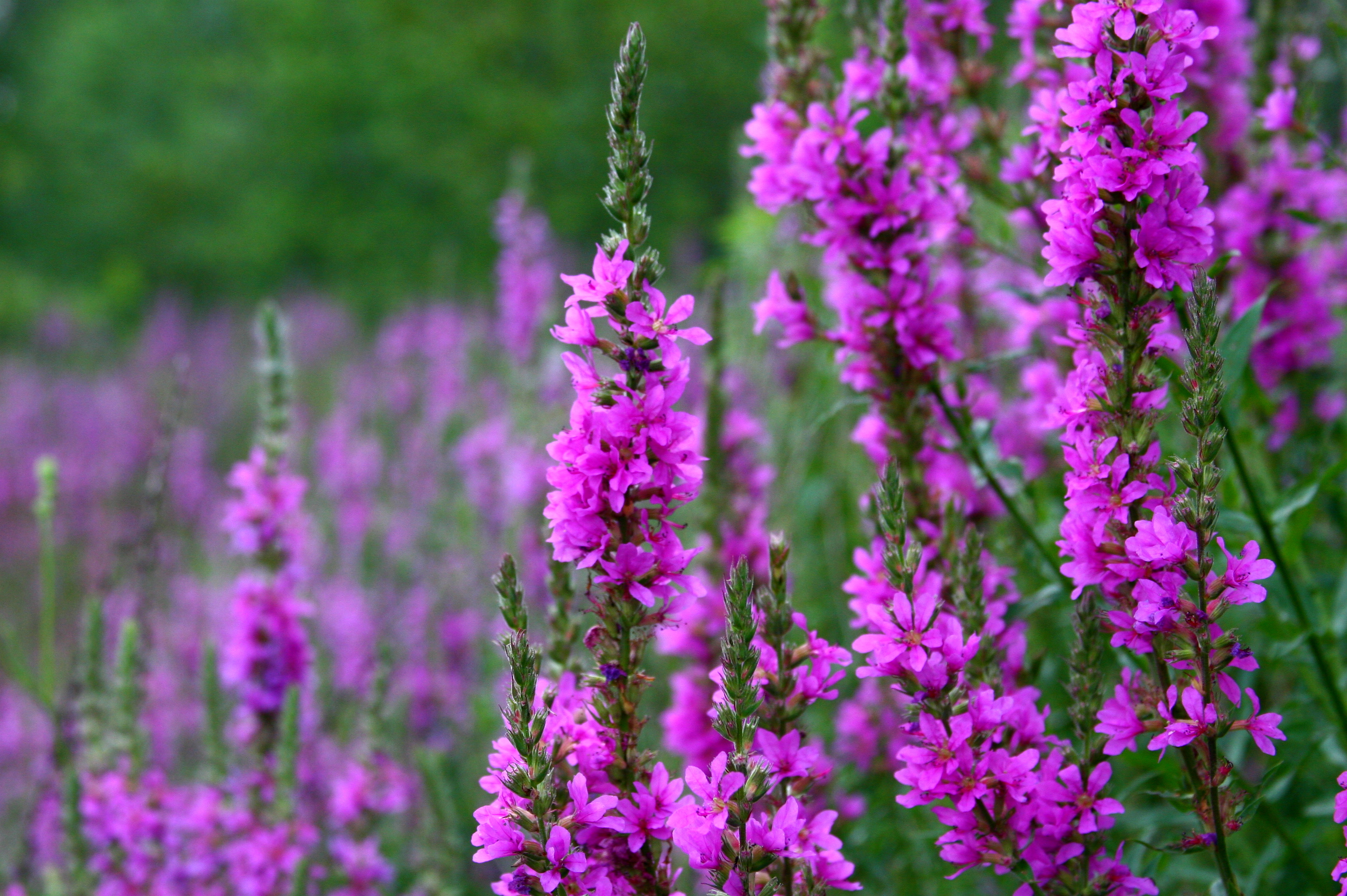 purple loosestrife danger