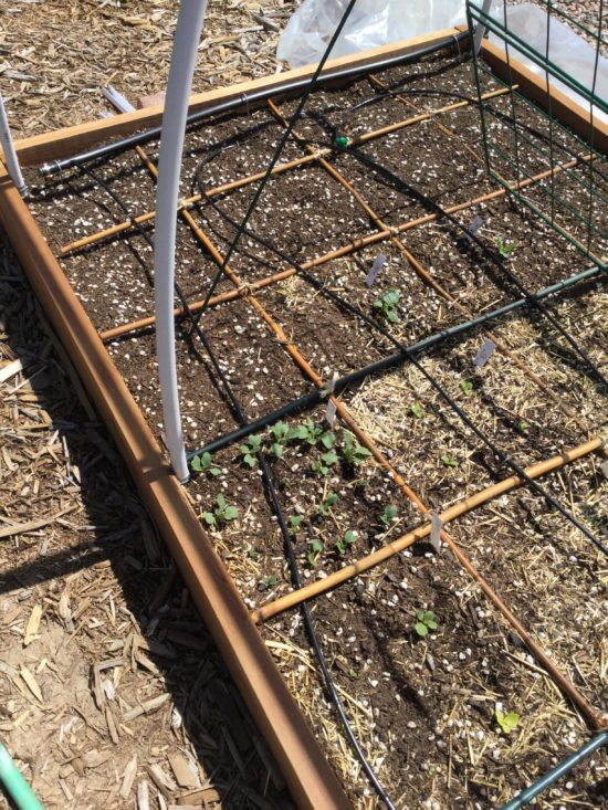 early start hoop house seeds